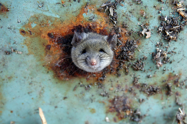 A rat's head rests as it is constricted in an opening in the bottom of a garbage can in the Brooklyn borough of New York, U.S., October 18, 2016. The Brooklyn rat was saved on Tuesday after getting its head stuck in the dumpster while scavenging for food, according to the New York Daily News. As the rat was scurrying around the bottom of the trash can, it came across a few ventilation holes. The hungry creature poked his head into one of them, but to its dismay couldn't get back out,Reuters photographer Lucas Jackson told the Daily News. Jackson was able to take some adorable photos of the rat's unfortunate situation before it was rescued. (Photo by Lucas Jackson/Reuters)