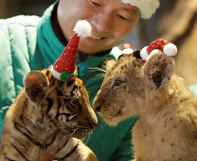 A lion cub named Dominjun, right, and a tiger cub named Jangbori wear Santa Claus caps are held by amusement park employees during an event to celebrate Christmas at the Everland amusement park in Yongin, South Korea, Tuesday, December 23, 2014. (Photo by Ahn Young-joon/AP Photo)