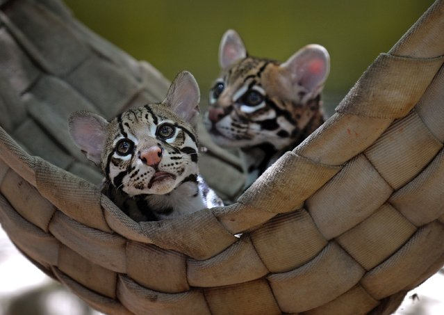 A pair of young Ocelots just hanging out in a hammock at the ABQ BioPark Zoo in Albuquerque, NM, USA on June 9, 2020. The Ocelot is found in Central America and the northern parts of South America. (Photo by Jim Thompson/Albuquerque Journal via ZUMA/Rex Features/Shutterstock)