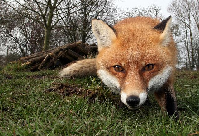 Urban Fox Project by Photographer Ian Wade
