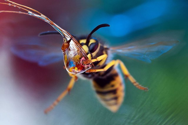 A wasp drinking a water droplet, on September 5, 2013. (Photo by Caters News Agency)