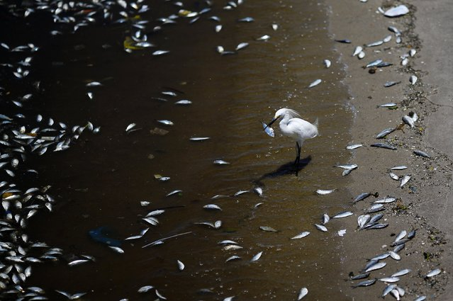 A bird eats a fish surrounded by dead fish on the banks of the Guanabara Bay in Rio de Janeiro February 24, 2015. (Photo by Ricardo Moraes/Reuters)