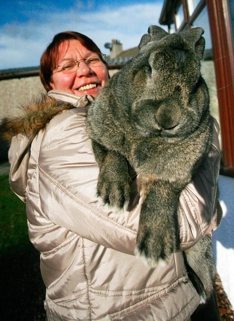 Vikki Buchanan in Levenvale with Murphy the monster rabbit. The Giant Continental rabbit can grow to an incredible two feet and weigh over 20lbs. (Photo by South West News Service)
