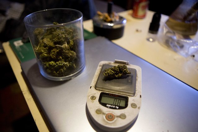 In this September 4, 2013 photo, high-potency marijuana sits on a small scale after it was grown in a hydroponics garden inside an apartment in Mexico City. Instead of Acapulco Gold, Mexican smokers want strains like Liberty Haze and Moby Dick – either importing high-potency boutique pot from the United States, or growing it here in secret gardens that use techniques perfected abroad. (Photo by Eduardo Verdugo/AP Photo)