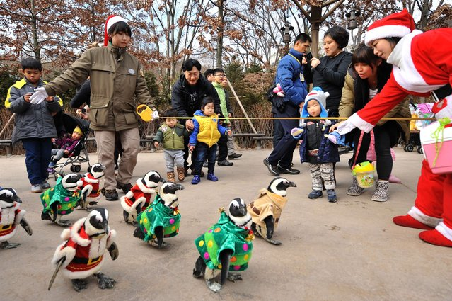 Penguins dressed in costumes are paraded at an amusement park for a promotional event ahead of Christmas in Yongin, south of Seoul, on December 18, 2013. (Photo by Woohae Cho/AFP Photo)