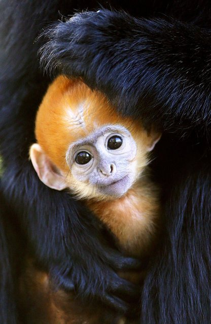 A male and as yet unnamed Francois' Langur monkey infant is held by his mother Ena, as he makes his public debut, at Howletts Wild Animal Park in Bekesbourne, England, Wednesday, February 17, 2016. (Photo by Gareth Fuller/PA Wire via AP Photo)