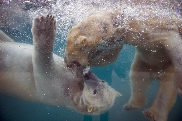 A photo taken on March 15, 2016 shows polar bears at the zoo in Mulhouse, eastern France. (Photo by Sebastien Bozon/AFP Photo)