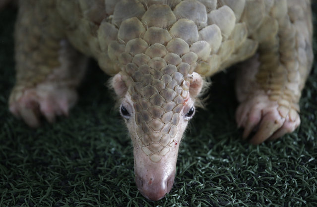 In this August 31, 2017, file photo, one of over 100 pangolins and 450 kg (992 lb.) of pangolin scales seized buy the Thailand customs, estimated to be worth over 2.5 million baht (USD $75,278), are displayed during a press conference at the Customs Department headquarters in Bangkok, Thailand. Singapore has seized a total of 25 tons of pangolin scales belonging to tens of thousands of endangered mammals in two busts in less than a week. The scales, which were en route from Nigeria to Vietnam, were found in 474 bags in a shipping container on Monday, April 8, 2019. (Photo by Sakchai Lalit/AP Photo/File)