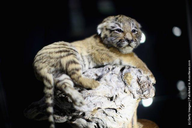 A 10 week old stuffed Tiger cub
