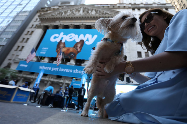 Stewie the Yorkie Chihuahua is seen outside the New York Stock Exchange (NYSE) ahead of the IPO for Chewy Inc. in New York City, U.S., June 14, 2019. (Photo by Andrew Kelly/Reuters)