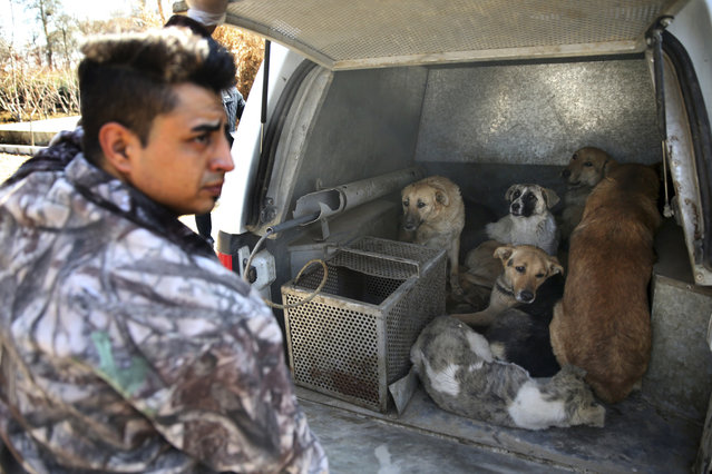 In this picture taken on Sunday, March 5, 2017, caught stray dogs are put inside the vehicle of Tehran's urban animal control after being shot with anesthetic darts on the outskirts of the capital Tehran, Iran. (Photo by Vahid Salemi/AP Photo)