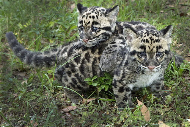"""These rare clouded leopard cubs, born on the leap day of February 29, 2016 are making great progress. """"Our leap year leopards are developing in leaps and bounds"""", joked Rachel Nelson, a spokesperson for Tampa's Lowry Park Zoo in Florida, USA. The adorable cubs are named Aiya and Shigu. Their species of big cat is known to be shy and reclusive, dwelling mostly in the forests of Southeast Asia. Palm oil plantations plus high levels of hunting and poaching have driven them dangerously close extinction. (Photo by Chase/TLPZ/Splash News)"""