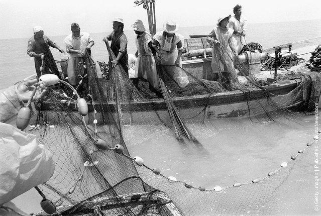 Bedouin Arab fishermen bring in their catch June 3, 1975 on Lake Bardawil near the Israeli settlement of Nahal Yam