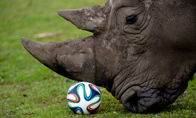 A rhinoceros plays with a football in his enclosure at the Serengeti Park in Hodenhagen, central Germany on April 13, 2014. (Photo by Peter Steffen/AFP Photo/DPA)