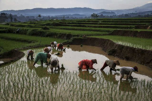 Farmers plant rice seedlings in a paddy in Karanganyar, near Solo, Central Java, Indonesia in this April 13, 2016 photo taken by Antara Foto. (Photo by Maulana Surya/Reuters/Antara Foto)
