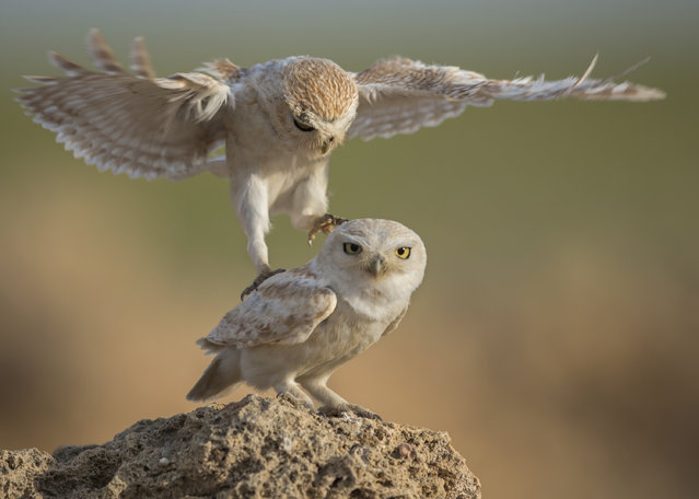 """Wooing Owls"". Swooping in for a mating session. Photo location: Qatar. (Photo and caption by Mohsen Jaafer/National Geographic Photo Contest)"