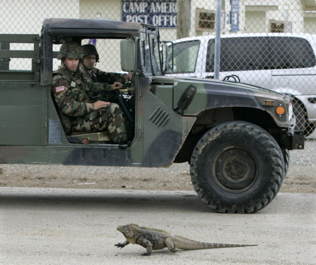 U.S. troops pass a large iguana on a road outside Camp America, which houses guards for detainees at the U.S. Naval Base Guantanamo Bay, Cuba July 30, 2004. (Photo by Joe Skipper/Reuters)