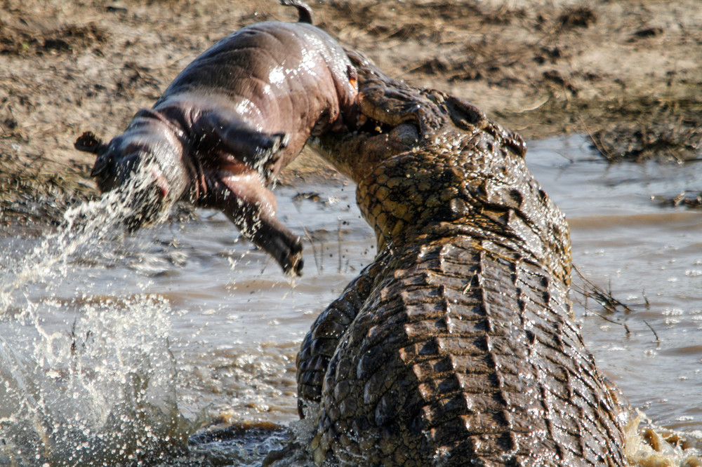 An Enormous Crocodile Mauls a Young Hippo in South Africa