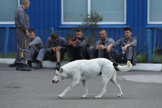 Workers on a break watch a stray dog saunter by outside an administrative building inside the exclusion zone at the Chernobyl nuclear power plant on August 18, 2017 near Chornobyl, Ukraine. An estimated 900 stray dogs live in the exclusion zone, many of them likely the descendants of dogs left behind following the mass evacuation of residents in the aftermath of the 1986 nuclear disaster at Chernobyl. Volunteers, including veterinarians and radiation experts from around the world, are participating in an initiative called The Dogs of Chernobyl, launched by the non-profit Clean Futures Fund. Participants capture the dogs, study their radiation exposure, vaccinate them against parasites and diseases including rabies, tag the dogs and release them again into the exclusion zone. Some dogs are also being outfitted with special collars equipped with radiation sensors and GPS receivers in order to map radiation levels across the zone. (Photo by Sean Gallup/Getty Images)