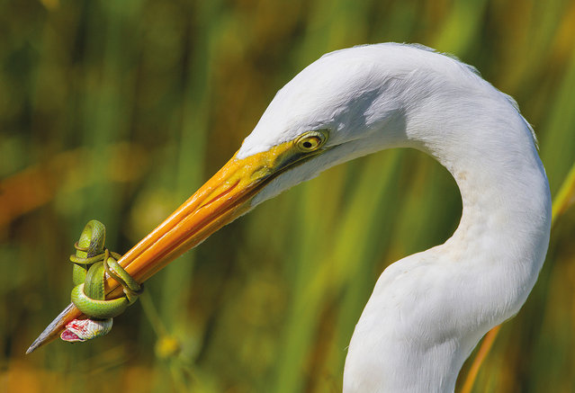 The battle by Jose Garcia, US. Category: bird behaviour. A great white heron (Ardea herodias occidentalis) fighting a green snake in the Florida Everglades. The fight lasted for nearly 20 minutes with the heron having to release its prey. (Photo by Jose Garcia/2017 Bird Photographer of the Year Awards)