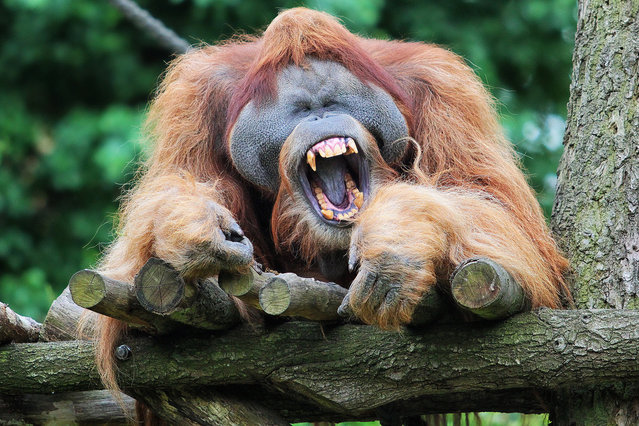This huge male orangutan is having a right old laugh as he squints his eyes and shows his huge teeth.  The orangutan, called Bimbo, was relaxing on a platform around 5m high in his enclosure when he broke out into a laugh. But his happy smile soon disappeared when another orangutan came over to see what was going on.  Bimbo – the only male in the group of five apes at Leipzig Zoo, in Germany - appears to be laughing in much the same way as a human would. (Photo by Martina Radtke/Solent News)