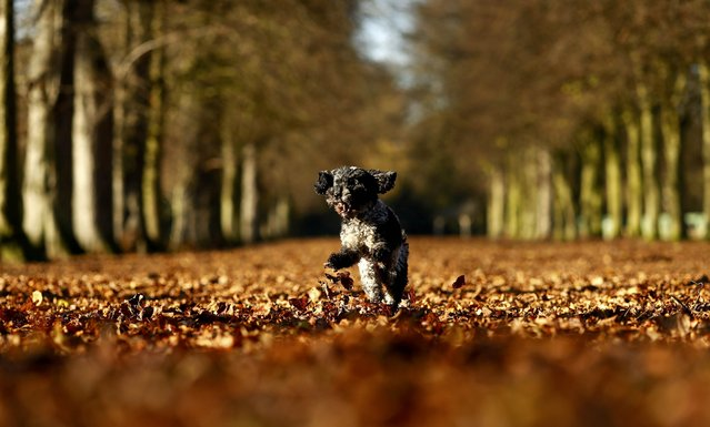 A dog bounds through fallen leaves on a sunny autumn day at Marbury Park in Cheshire, Britain November 25, 2016. (Photo by Jason Cairnduff/Reuters)