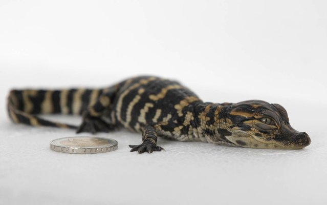 A picture taken on August 22, 2014 shows a baby alligator next to a 2 euro coin at the Biotropica zoological park in Val-de-Reuil, northern France. The birth of alligators is very rare in Europe, and this baby should later weigh between 100 and 200 kilos. (Photo by Charly Triballeau/AFP Photo)