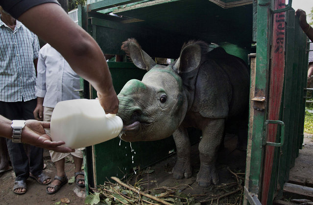 Indian veterinary doctor Samshul Ali feeds milk to a one-and-a-half year-old one horned female Rhino calf in a cage after she arrived at the state zoo in Gauhati, India, Friday, October 13, 2017. One male and two female calves one-horned rhinoceros, who were rescued during monsoon floods over the past two years from a famed wildlife preserve in India's northeast, were on Friday transported to a local zoo for breeding. The three, one-and-a half years to two-and-a-half years old, were put in cages on three different trucks and brought to the zoo in Gauhati, the capital of Assam state, from the Centre for Wildlife Rehabilitation and Conservation in Panbari, said Tajas Mariswamy, a regional forest officer. (Photo mby Anupam Nath/AP Photo)