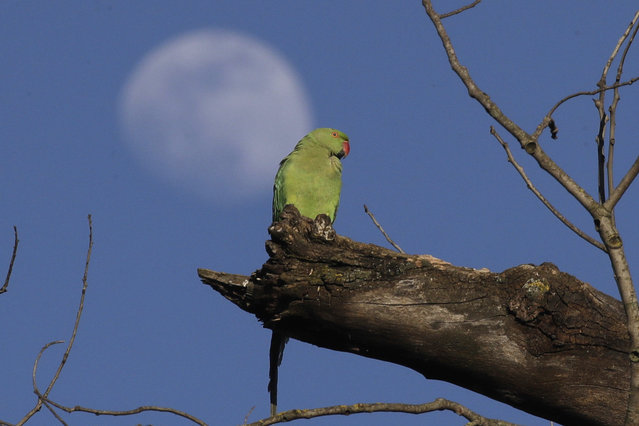 A parakeet sits on a branch as the moon rises in the background at Rome's Villa Pamphili park once it reopened after several weeks of closure, part of nationwide limited easing of some lockdown restrictions, on Monday, May 4, 2020. Italy began stirring again Monday after a two-month coronavirus shutdown, with 4.4 million Italians able to return to work and restrictions on movement eased in the first European country to lock down in a bid to stem COVID-19 infections. (Photo by Alessandra Tarantino/AP Photo)