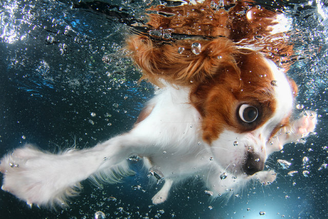 """Underwater Puppies"": Monty,  cavalier King Charles spaniel, 6 months. (Photo by Seth Casteel)"