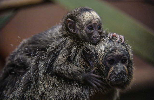 This is the adorable moment a newborn monkey hitched a ride with his mum. The six-week old Saki monkey latched on to mum Tabiti after being unveiled to visitors at Chester Zoo. Native to south America, the white-faced monkey was born on September 2 and was recently shown off to guests at the zoo. Keepers said the wide-eyed infant is taking well to its new environment and that he is being well looked after by mum Tabiti and dad Kwinti. (Photo by Chester Zoo/Mercury Press/Caters News)