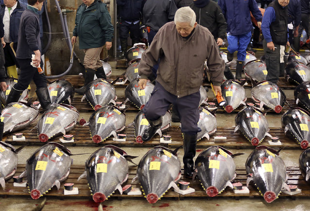 In this January 5, 2016, file photo, a prospective buyer inspects the quality of fresh tuna before the first auction of the year at Tsukiji fish market in Tokyo. A newly elected leader of Tokyo has postponed a plan to relocate the world's biggest fish market, one of the city's most famous landmarks.  Gov. Yuriko Koike announced Wednesday, August 31, 2016,  that she would decide on a date only after an environmental assessment of the new site is completed in January. The move had been scheduled to take place in early November. (Photo by Eugene Hoshiko/AP Photo)