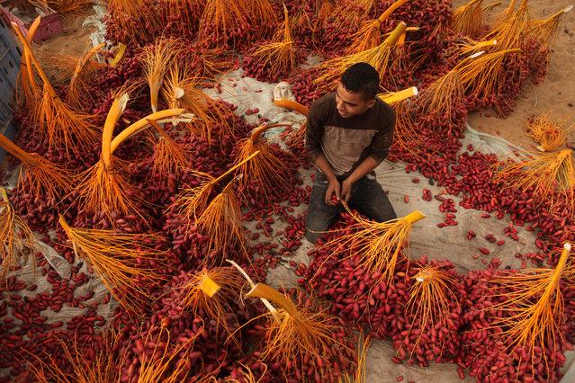 A Palestinian farmer sorts freshly picked dates during harvest season in Dair Al Balah, Gaza Strip on October 4, 2015. (Photo by Majdi Fathi/NurPhoto/Corbis)