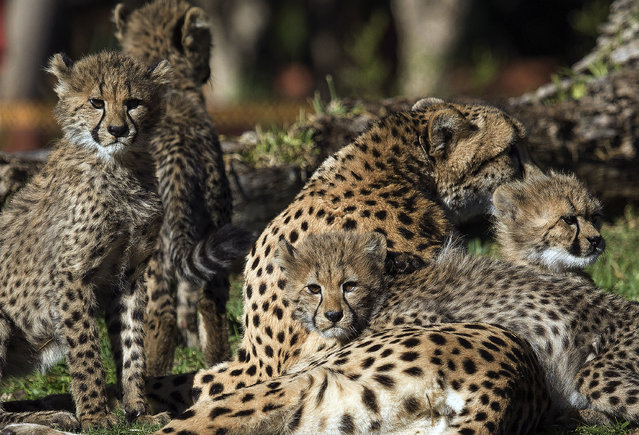 In this photo provided by San Diego Zoo Global, four almost 4-month-old cheetah cubs rest alongside their mother at the San Diego Zoo Safari Park Tuesday, November 4, 2014 in Escondido, Calif. The cubs, two males and two females, were born to first-time mother Addison on July 13 at the Safari Park's off-site cheetah breeding center. (Photo by AP Photo/San Diego Zoo Global)