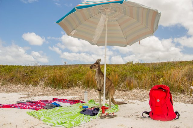 A regular beach day for a kangaroo, pictured by Rosario Losano Cordoba for the Comedy Wildlife Photo Awards 2016, January, 2015. (Photo by Rosario L. Cordoba/Barcroft Images/Comedy Wildlife Photo Awards)