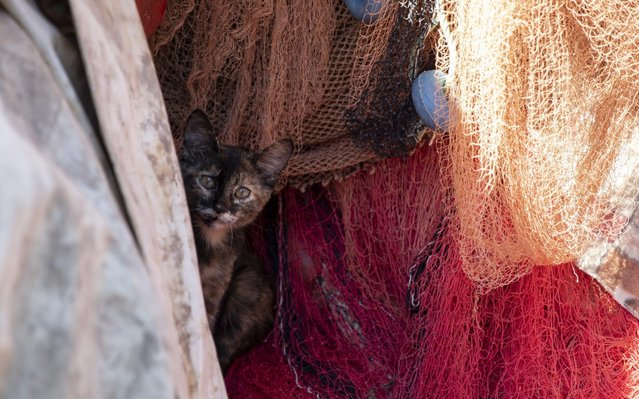 A cat is seen between nets of fishers preparing for the upcoming season in Guzelbahce district of Turkey's western province of Izmir on August 20, 2020. Last year, fishers finished the season on the last week of March instead of April 15th due to the coronavirus (Covid-19) pandemic. Preparations are underway ahead of the new season, expected to begin on 1st of September. (Photo by Lokman Ilhan/Anadolu Agency via Getty Images)
