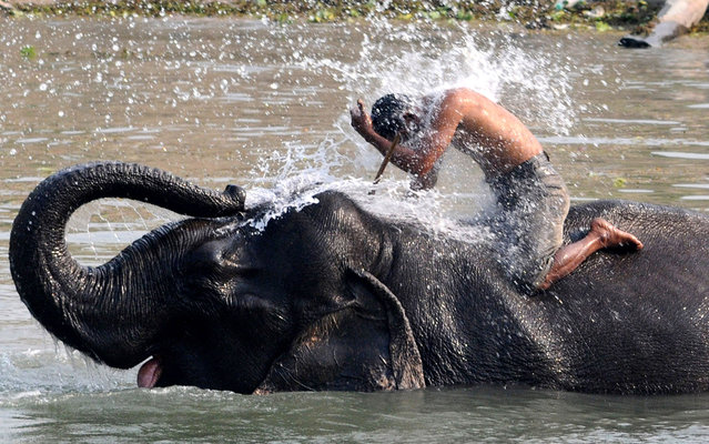 A mahout receives a dousing from his elephant on March 5, 2013, ahead of the tourist season, when they provide rides to visitors at the Pobitora Wildlife Sanctuary near Guwahati, India. (Photo by Biju Boro/AFP Photo)