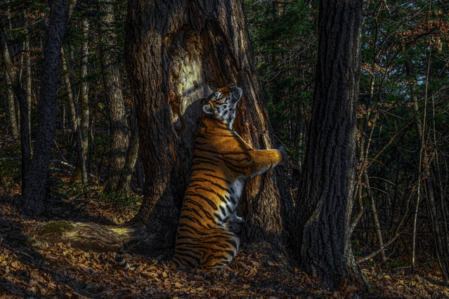 Winner – Animals in their Environment and Garand Title Winner: The embrace by Sergey Gorshkov, Russia. With an expression of sheer ecstasy, a tigress hugs an ancient Manchurian fir, rubbing her cheek against bark to leave secretions from her scent glands. She is an Amur, or Siberian, tiger, here in the Land of the Leopard National Park. Gorshkov installed his first proper camera trap in January 2019, opposite this grand fir. But it was not until November that he achieved the picture he had planned for, of a magnificent tigress in her Siberian forest environment. (Photo by Sergey Gorshkov/Wildlife Photographer of the Year 2020)