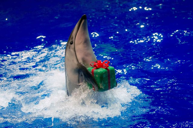 A dolphin moves to return a parcel to its trainer during a special Christmas show at the Shinagawa Aqua Stadium in Tokyo December 23, 2014. (Photo by Thomas Peter/Reuters)