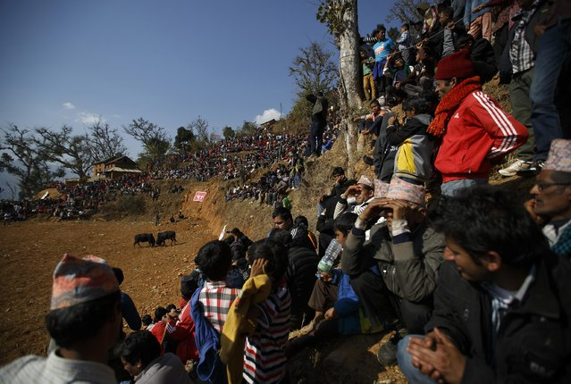 Villagers watch as bulls fight during the Maghesangranti festival at Talukachandani village in Nuwakot district near Kathmandu January 15, 2015. The village organizes the bullfight during the Maghesangranti festival that commemorates the start of the holy month of Magh, ushering in the coming of warmer weather and longer days. (Photo by Navesh Chitrakar/Reuters)