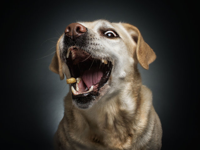 A photographer has created a series of paw-traits of hungry dogs pulling hilarious faces as they try and catch treats. Using a unique technique, the shots are captured at the exact moment the adorable pooches attempt to catch an airborne piece of food. The dogs appear surprised, happy, sad, confused – and sometimes even so blasé they miss the treat entirely. The images were taken by Christian Vieler, a photographer from Waltrop, Germany. Here: A labrador retriever. (Photo by Christian Vieler/Caters News)