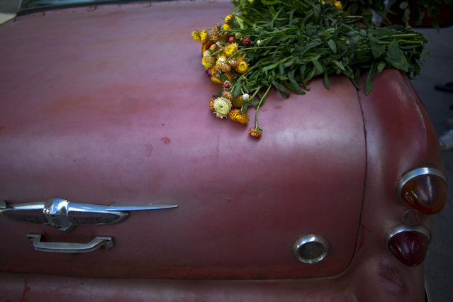 In this Thursday, January 29, 2015 photo, a flower bunch sits on the truck of a 1957 Buick, rented for the day by private flower vendor Yaima Gonzalez Matos, who pays the owner of the car about $20 a day including gas to transport her flowers to Havana. Gonzalez is hopeful that the recent warming of relations with the U.S. will improve Cuba's economy, and more money will trickle down to her business. She dreams of one day having a business big enough to let her buy a truck and sign a supply contract with a hotel. (Photo by Ramon Espinosa/AP Photo)