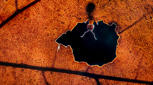 """Shortlist, open competition, natural world and wildlife. Hello World – an ant looking through an autumn leaf in a forest near the photographer's home. """"I like the tones of this autumn leaf. So warm. It was hard to take this image because of the fast-moving ant, but with a little help of a flashlight I was able to freeze the motion"""". (Photo by Alex Pansier/Sony World Photography Awards)"""