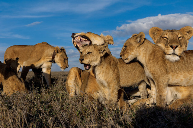 Older cubs like these Vumbi youngsters are raised together as a creche, or nursery group. Pride females, united in the cause of rearing a generation, nurse and groom their own and others' offspring. (Photo by Michael Nichols/National Geographic via The Atlantic)