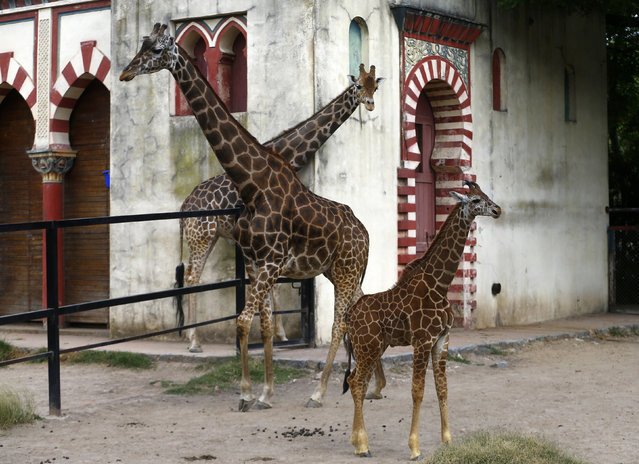 Four-month-old giraffe calf (R) is seen next to its parents father Buddy (L) and mother Jacky (C) at their enclosure in Buenos Aires' zoo January 21, 2016. The baby giraffe, still without a name, is one meter and 90 centimeters (57,91 feet) tall and weighs 180 kilos (396 pounds) when it was born, and the zoo launched a contest amongst children to find a name for it. (Photo by Enrique Marcarian/Reuters)