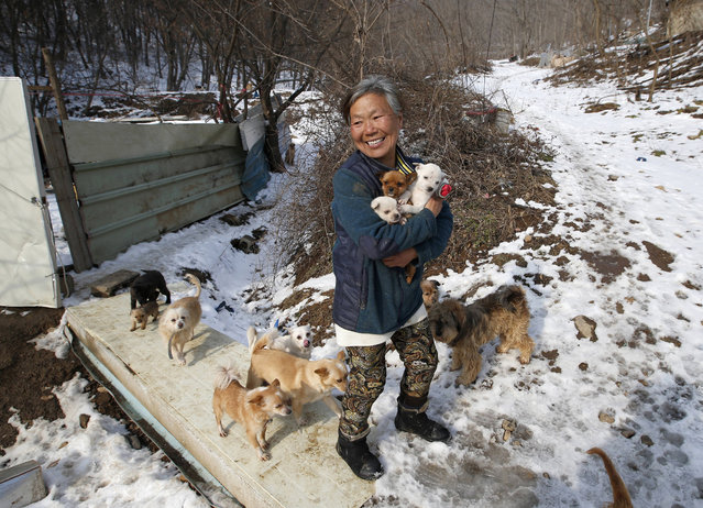 In this Wednesday, January 27, 2016 photo, Jung Myoung Sook, 61, holds her puppies she rescued at a shelter in Asan, South Korea. In the country, where dogs are considered a traditional delicacy and have only recently become popular as pets, Jung's love for her canine friends is viewed by some as odd. (Photo by Lee Jin-man/AP Photo)