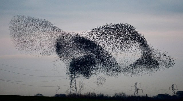 A murmuration of starlings above the  the small village of Rigg, near Gretna, in the Scottish Borders, on November 25, 2013. The weight of the resting birds on power lines caused some power localised power outages in the village. Still one of the commonest of garden birds, its decline elsewhere puts it on the Red List of endangered species. (Photo by Owen Humphreys/PA Wire)