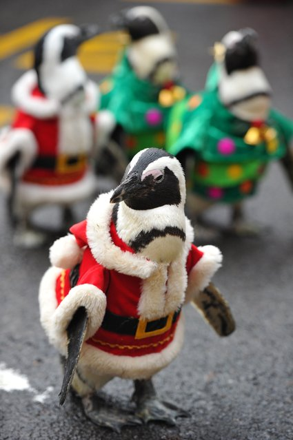 A penguin dressed in a Santa Claus costume is followed by others as they are paraded at an amusement park for a promotional event ahead of Christmas in Yongin, south of Seoul, on December 18, 2013. (Photo by Woohae Cho/AFP Photo)