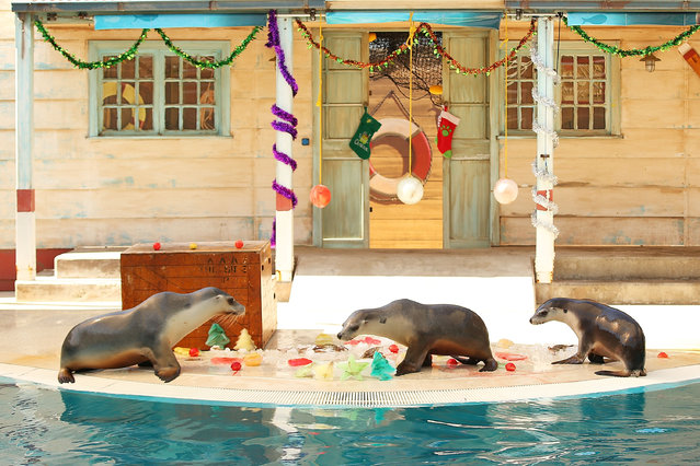 Australian Fur Seals inspect Christmas treats at Taronga Zoo on December 20, 2013 in Sydney, Australia. Animals received Christmas themed treats and puzzles as part of Christmas festivities. (Photo by Brendon Thorne/Getty Images)