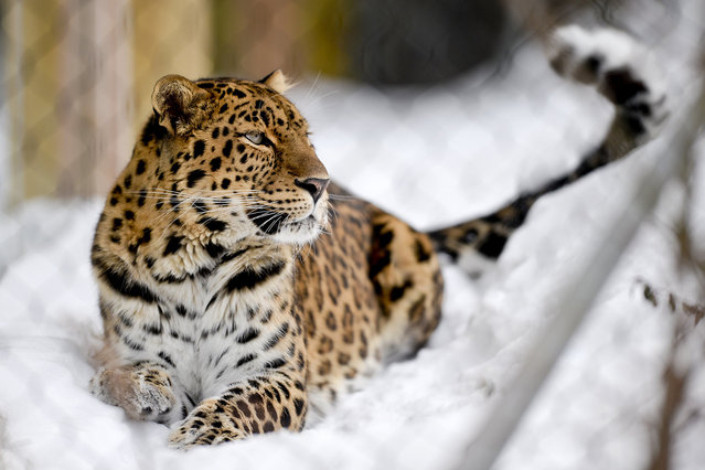 Rowdy, an 8-year-old male Amur Leopard, sits in his enclosure at the Erie Zoo in Erie, Pa., on Friday, February 19, 2016. The feline arrived to the zoo in December 2015 from Fort Wayne, Ind. (Photo by Sarah Crosby/AP Photo/Erie Times-News)
